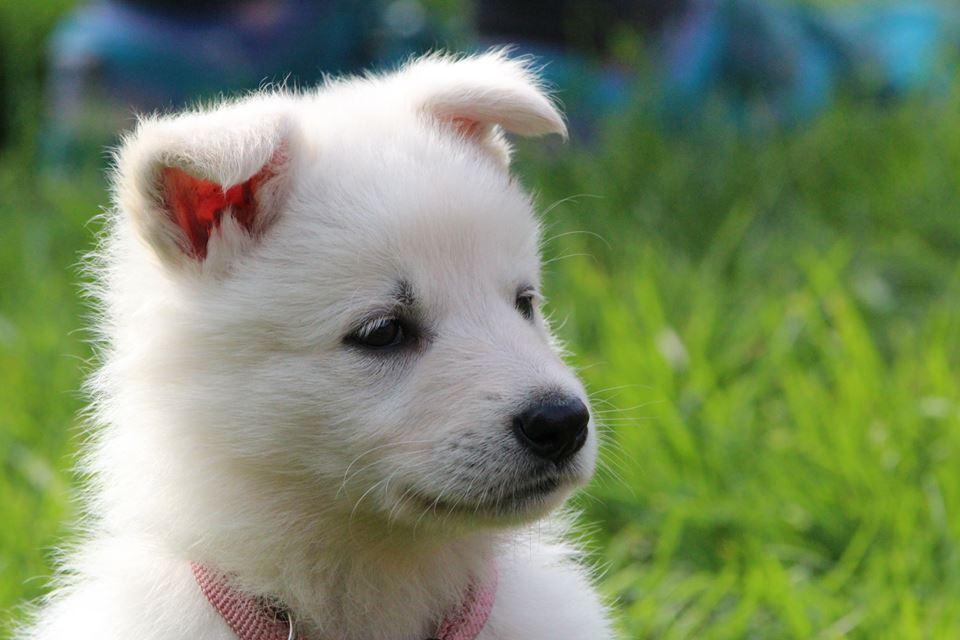 belgischen schäferhund welpen kaufen