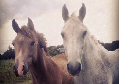 Pferde_celtics Zuchthof