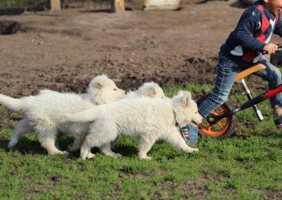 Weiße_Schaeferhund_Welpen_spielen