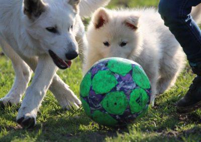 Weiße_Schaeferhunde_Fußball
