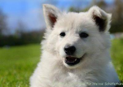 Weißer_Schaeferhund_Welpe_wookie