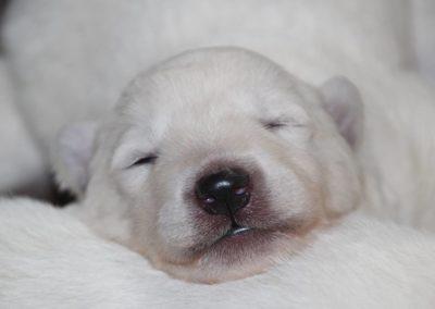 Weißer Schaeferhund Welpe