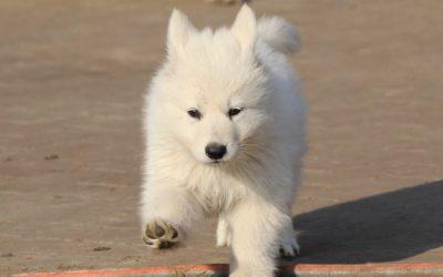 Zuhause gesucht – Weißer Schäferhund