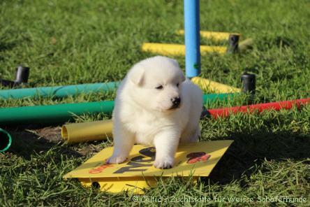 Unsere Weißen Schäferhunde Welpen