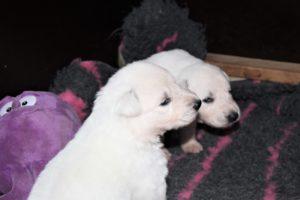 Fotoalbum welpen weißer schäferhund