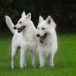 Weiße schäferhunde therapiehund