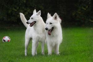 Weiße Schäferhunde Wurfplanung
