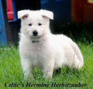 weißer schäferhund stockhaar zuhause gesucht