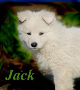 weißer schäferhund welpe zuhause gesucht