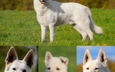 Welpen erwartung Weißer Schäferhund