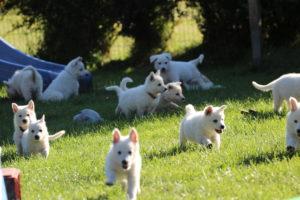 Hundezucht berger blanc suisse zucht züchter