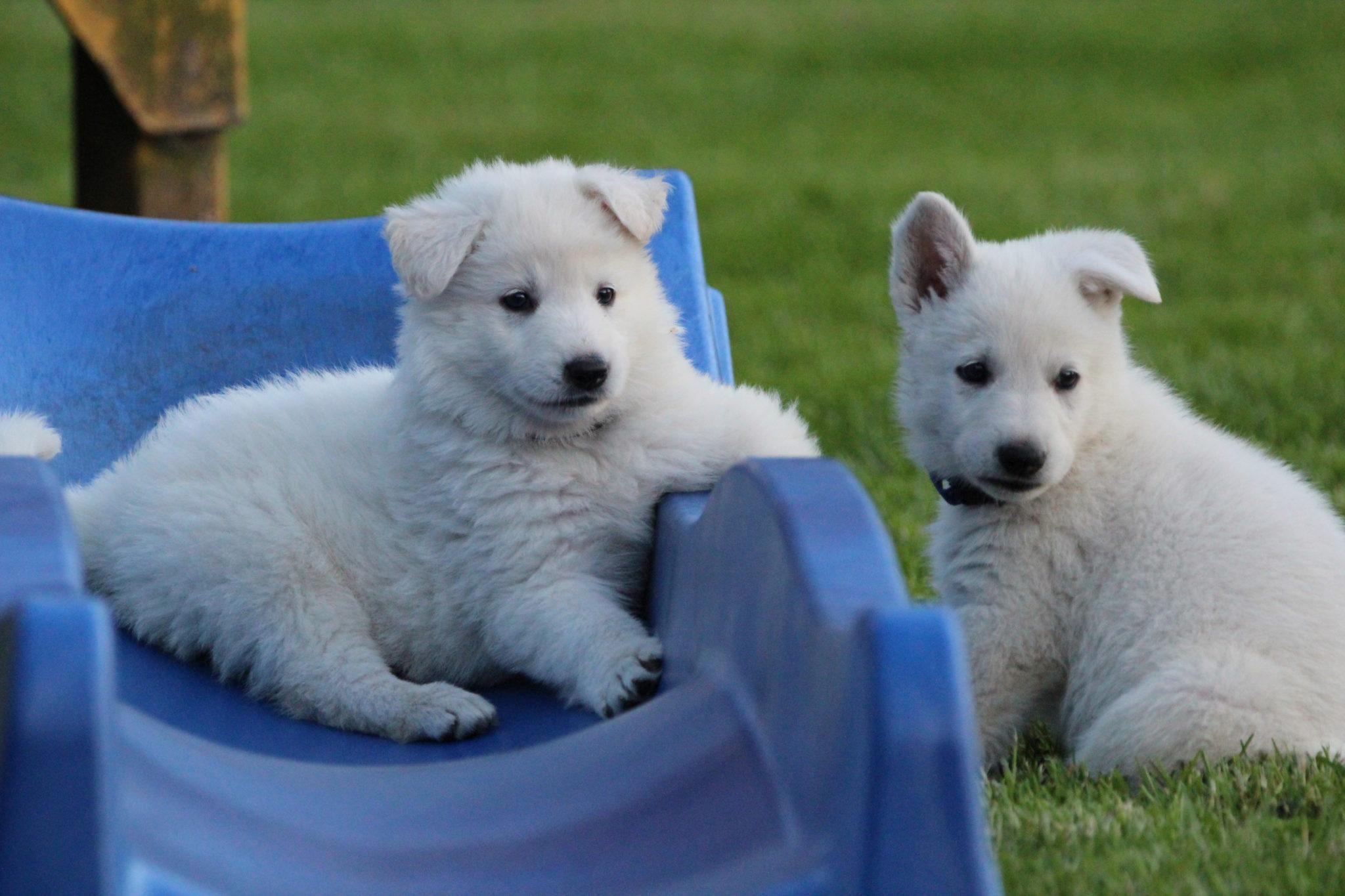 Welpen Weisser Schaferhund Zucht Welpe Therapiehund Zuchter