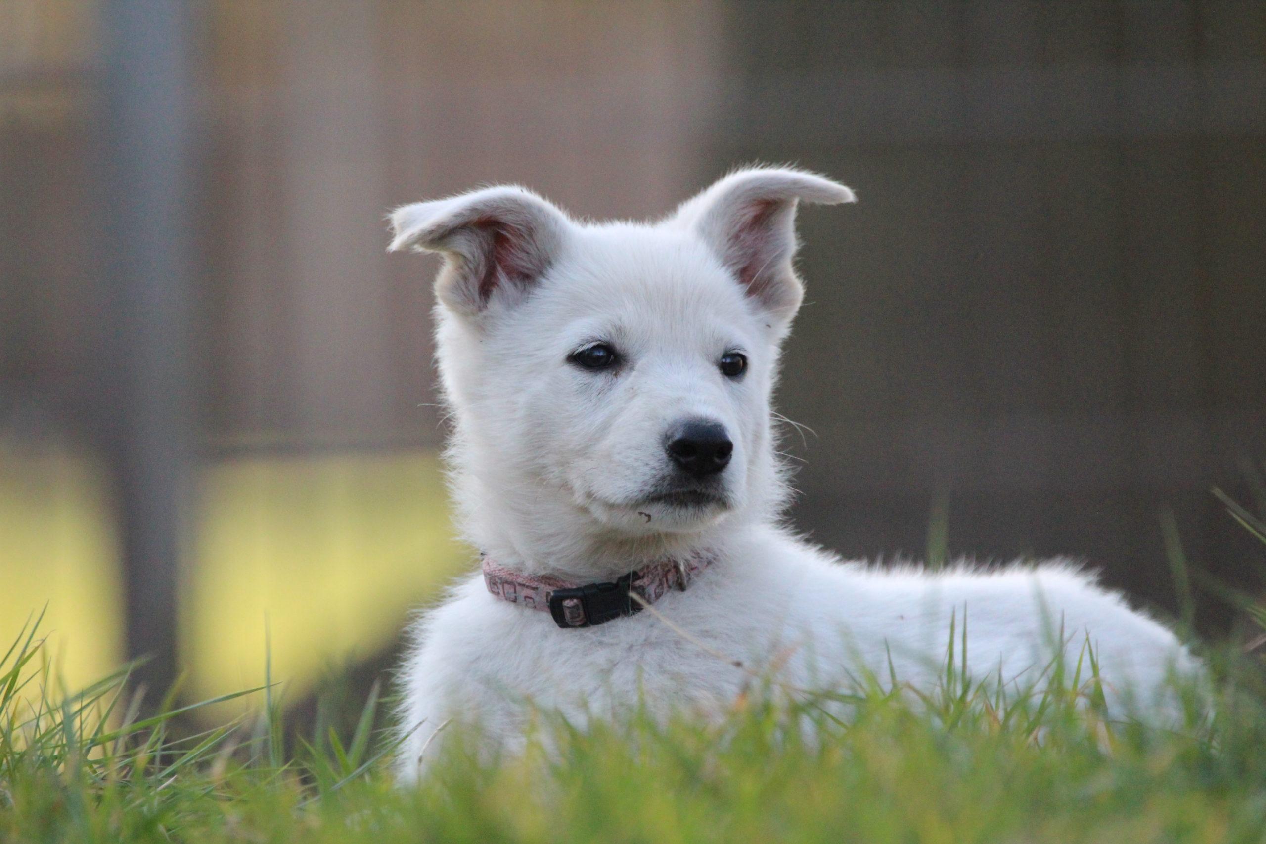 Weisser Schaferhund Gesucht Patenfamilie Hund Welpe Zuhause Gesucht
