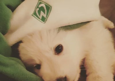 penny weißer schäferhund1