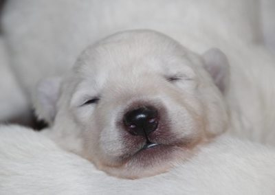 Weisser Schäferhund Welpe schläft