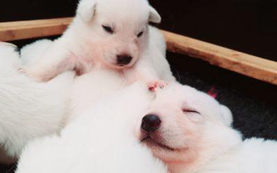 Welpenalarm – Weiße Schäferhunde Welpen