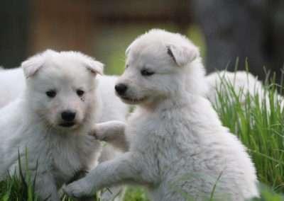 hundezucht familienhund kinderlieb hund zucht welpen weißer schäferhund züchter